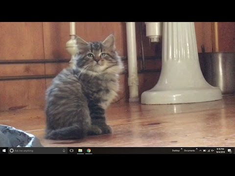 $525 Maine Coon Kittens?!  Curry Caputo Maine VLOG 178