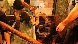 17 foot Reticulated Python gets a shot!