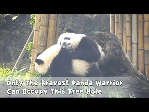 Only The Bravest Panda Warrior Can Occupy This Tree Hole | iPanda