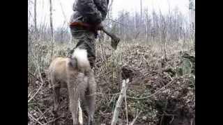 Охота с лайкой на бобра
