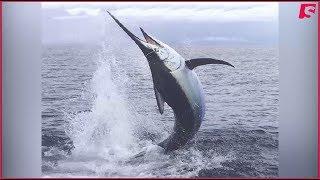 Un marlin bleu attaque un bateau de la mini transat 2017