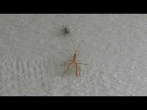 Spider VS Ichneumon Wasp (FULL VIDEO)