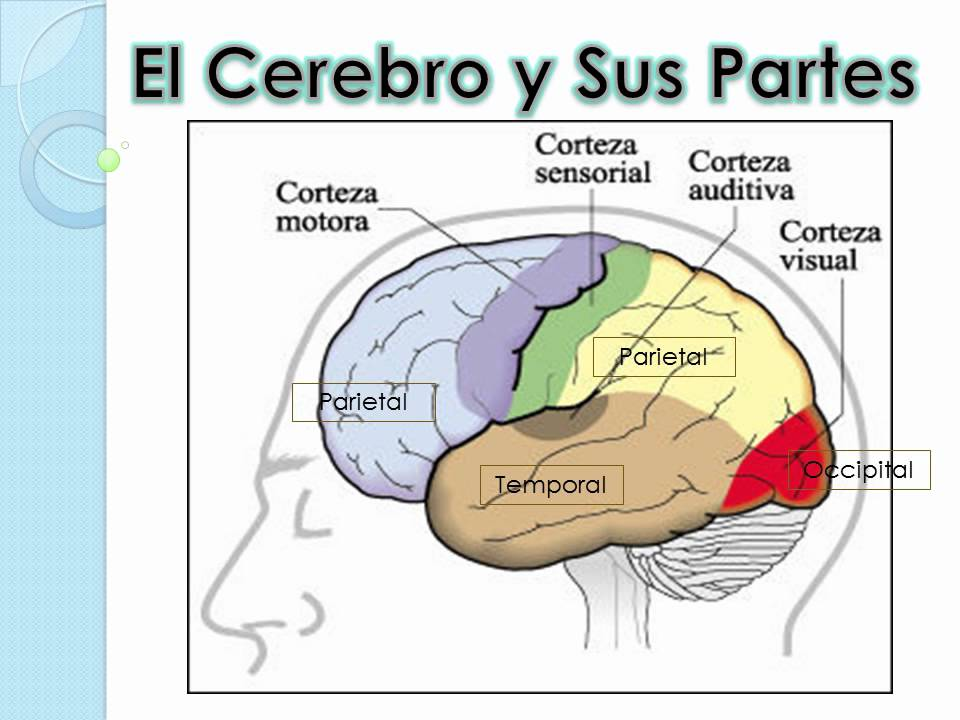 Cerebelo y Funciones. - YouTube