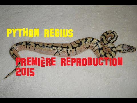 python regius juvénile 2015 . reproduction python , bébé serpent , oeuf serpent etc..