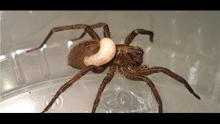 Wolf spider devoured by wasp larva