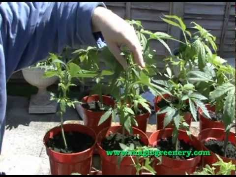 Basic Guide to Cannabis Hemp Cultivation - from seed to early vegetative state