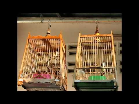 JAMBUL - Video 1 - Both birds SOLD - WarLord - OPEN TAIL SING AND KEKE) vs Phanga