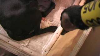 A Black Labrador Retriever Giving Birth
