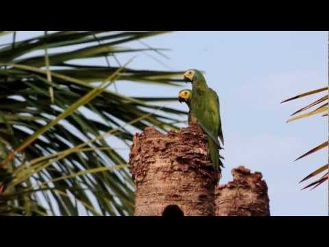 Red-bellied Macaw - Orthopsittaca manilata - CONSERVATION PARROTS- BIRDS ORINOQUIA