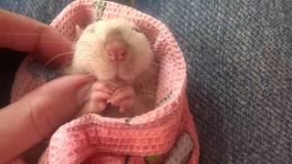 ФРАГМЕНТЫ ИЗ НОВОГО ВИДЕО СИАМСКАЯ КРЫСА СИАМСКИЕ КРЫСЫ КУПАНИЕ КРЫСЫ Крыса домашняя