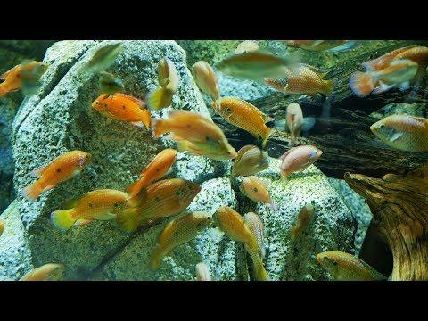Hemichromis stellifer fishes,jewel cichlid fishes,blood red jewel cichlid fish in aquarium fish tank