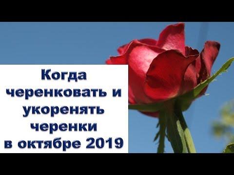 Когда черенковать и укоренять черенки в октябре 2019 года. Раиса Горяченко сад огород розы цветы