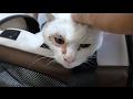 【地域猫】大ショック!ハク爺のお腹に腫瘍が見つかる。・゚・(ノД`)・゚・。【魚くれくれ野良猫】