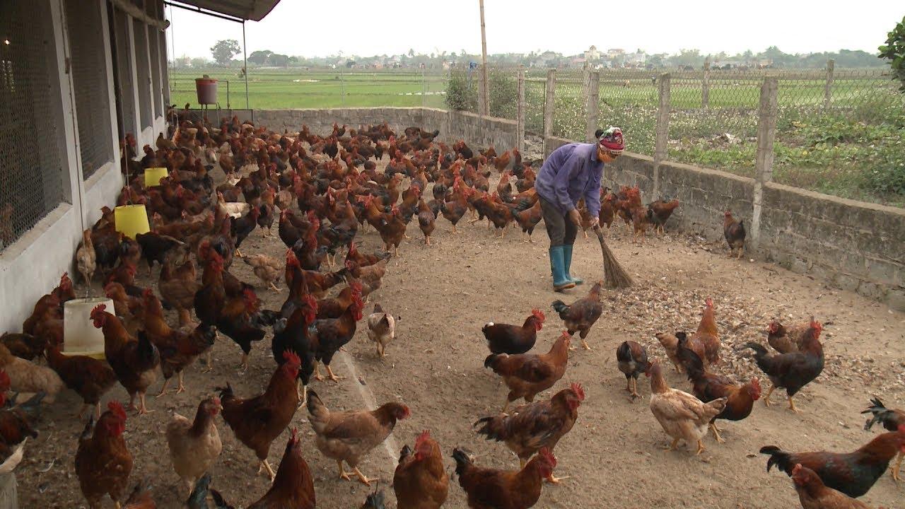 Trở thành Tỉ Phú với mô hình nuôi gà trên cát