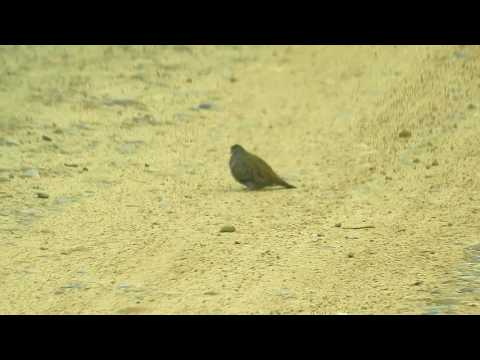Ground-Dove Ruddy ==