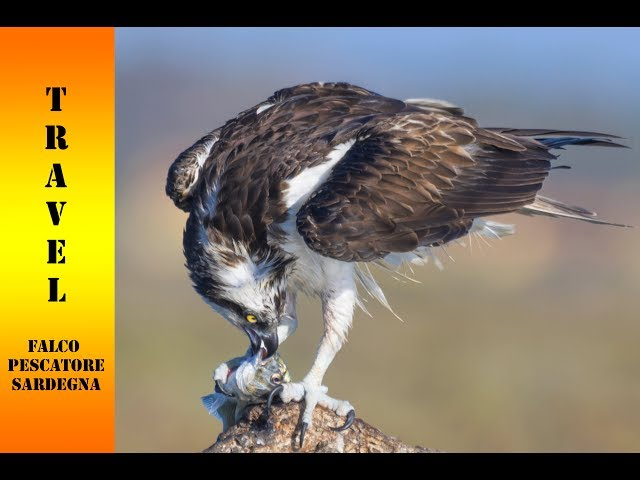 Falco Pescatore... Sardegna