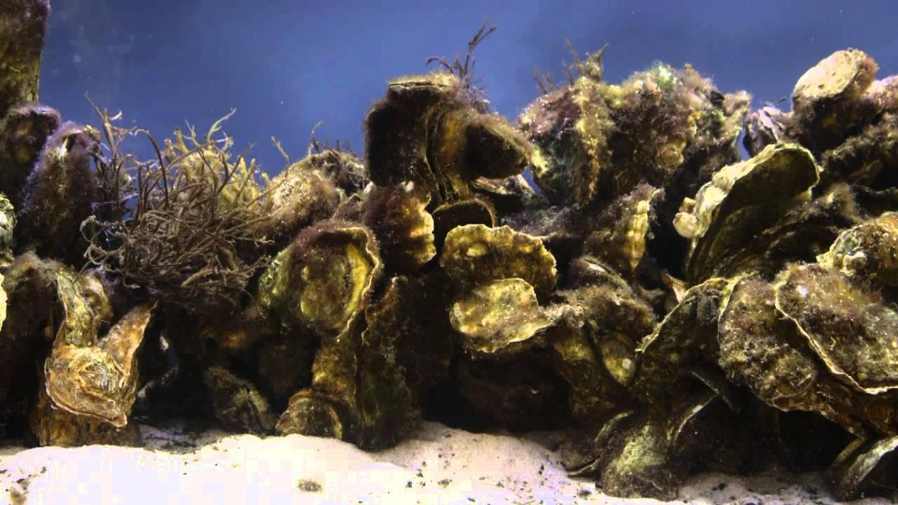 Underwater oyster reef - photo#10