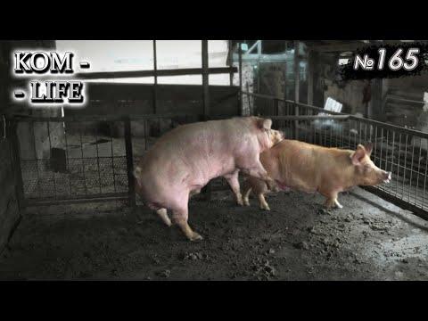 Заселение свиней в новую клетку
