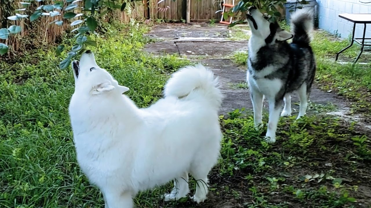 Malamute & Husky Find Chicken Hanging In Tree! They Find It & Eat It!
