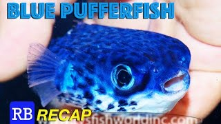 Blue Pufferfish, Fluoro Dragon & The ZissouOne On The RB Recap
