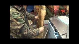 Professional Fur Handling, Red Fox  Part 3-2 Boarding (Flipping a Pelt