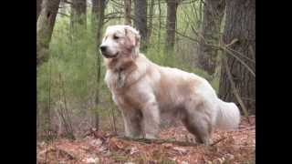 Dogs 202 - Golden Retriever