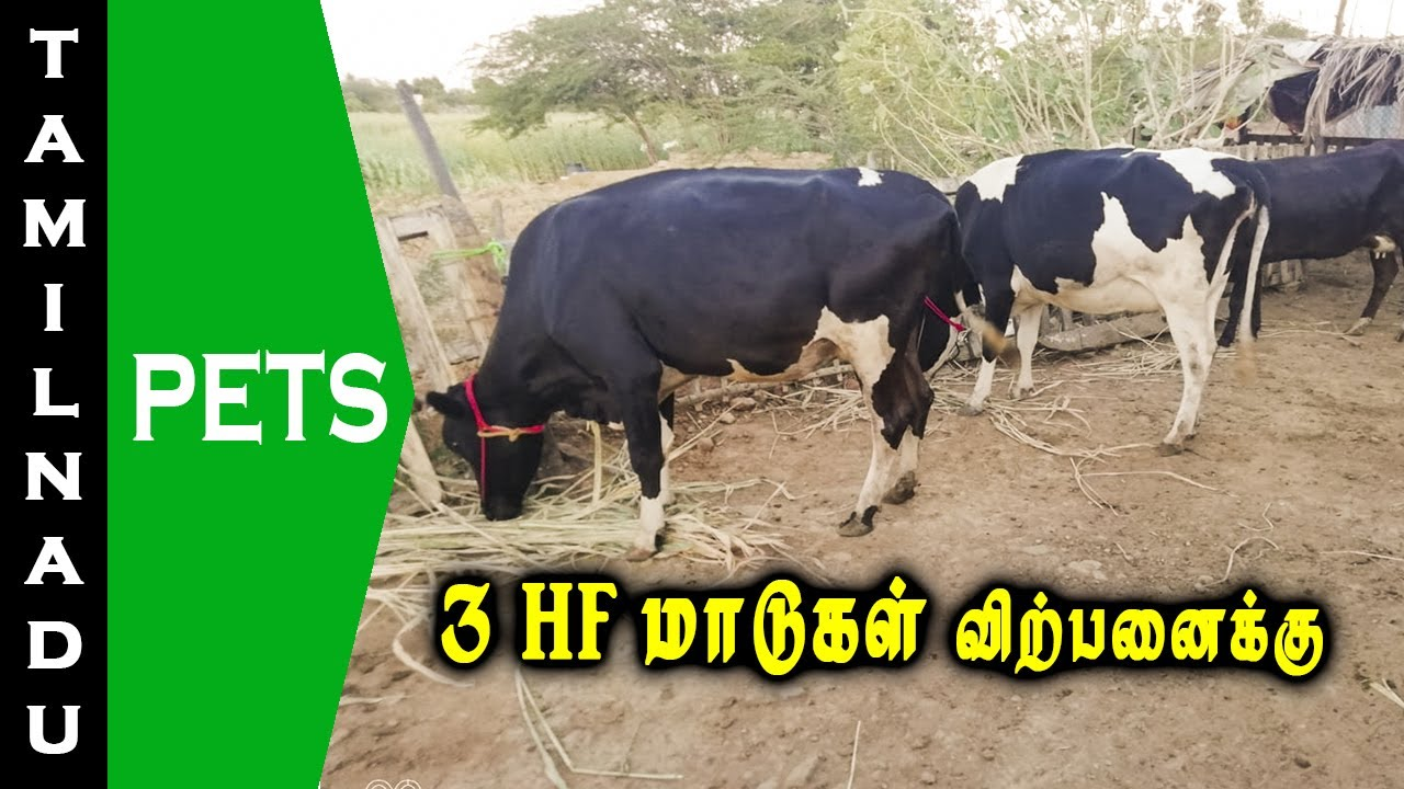 3 HF மாடுகள் விற்பனைக்கு || HF Cows for sale || Tamilnadu Pets || Tamil