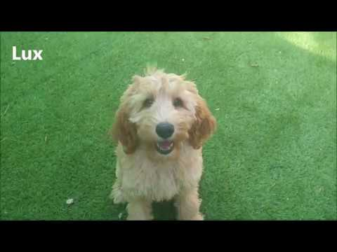 Training labradoodle puppy's