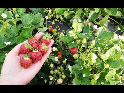Собираю семена с земляники садовой.
