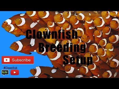 Clownfish Breeding Setup