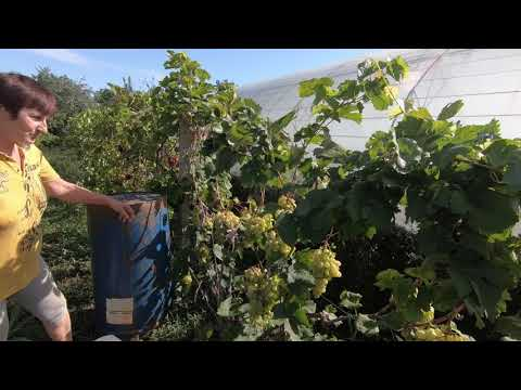 Вопрос: Какие сорта винограда растут в Крыму?