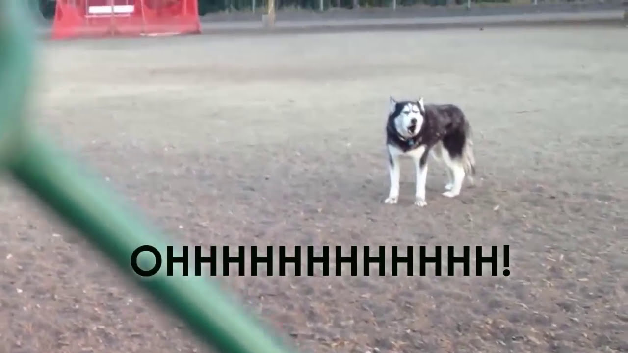 Howling Husky Doesnt Want To Leave Dog Park YouTube - Dog learns to play dead so he doesnt have to leave the park