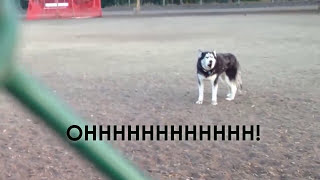 Howling Husky doesn't want to leave dog park