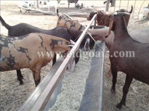 Image result for punjab goat farm