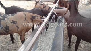Al-Buraq Goat Farm - Eid Goat - Sirohi Goat - Sojat Goat