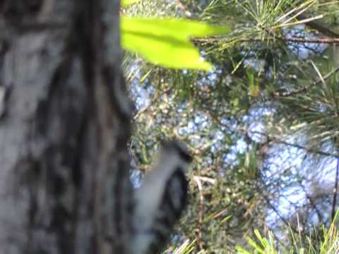 20130615 042 Male Downey Woodpecker Bird Animal Foraging Slow Motion