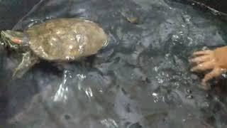 turtle eating fish