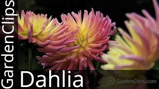 Dahlia -