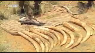 Die Jagd nach Afrikas Elfenbein - Weißes Gold - Teil 1