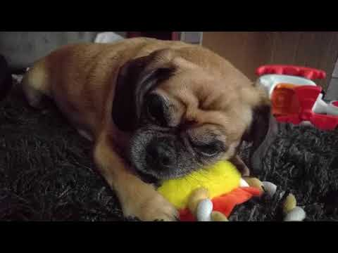 Pugalier with new chew toy