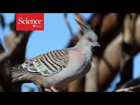 Pigeons sound a warning call—with their feathers