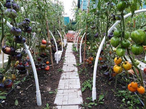 Экзотические сорта томатов в открытом грунте.