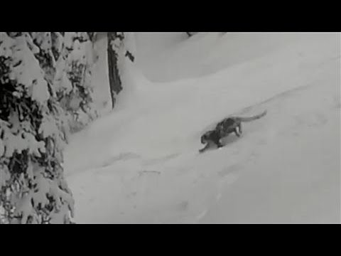Skiers Encounter a Snow Leopard in India