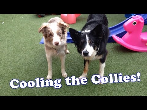 Cooling the Collies!