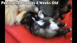 Pekingese Puppies 4 Weeks Old