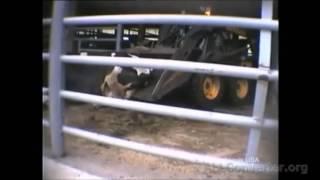Mleczne krowy