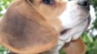 Ingrid the Beagle