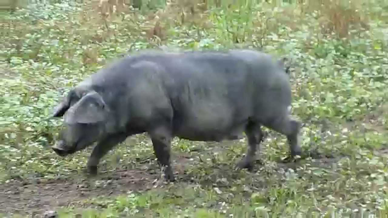 Black Slavonian pig - YouTube