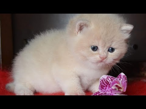 The Baby British Shorthair Kitten | Fun With Cat