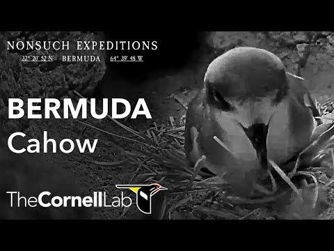 Bermuda Cahow Cam